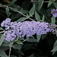 Buddleia 'Glass Slippers'