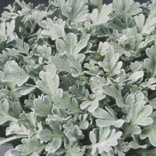 Artemisia (Dusty Miller) 'Silver Dust'