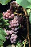Grape 'Reliance Seedless'