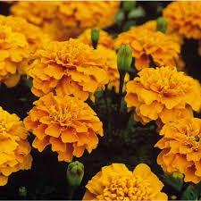 Marigolds 'Bonanza Series'