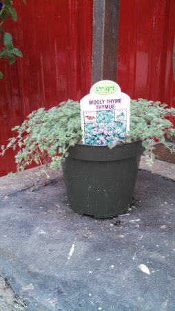 Thyme 'Wooly'