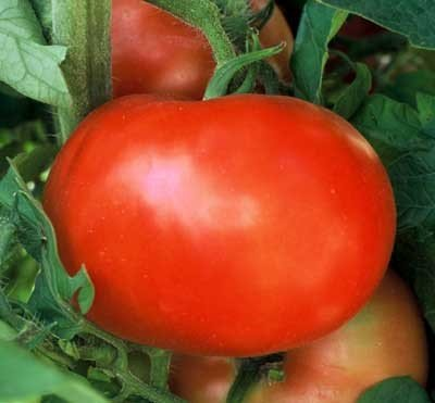 Tomato 'Supersonic'