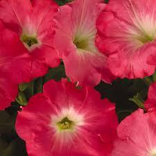 Wave Petunia 'Easy Wave Rosy Dawn'