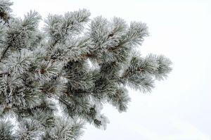 Weihnachten mit Tiefe begehen - schneebedeckter Nadelbaum