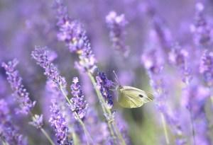 Schmetterling sitzt auf lila Lavendel - ich lasse mich hope and shine