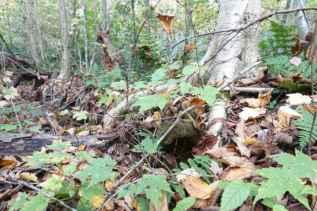 Stilt birch roots