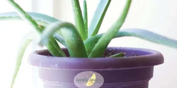 Bright green aloe vera plant