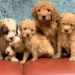 Goldendoodle Puppies Hope Hill Doodles