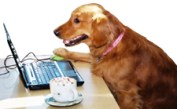 Golden Retriever using a laptop