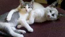 Foster kittens Emmy and Essie cuddle together before going to their forever homes