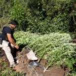 San Javier: Ocultaban marihuana en una carpa. Fueron sorprendidos y detenidos por carabineros