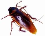 吃蟑螂抗輻射