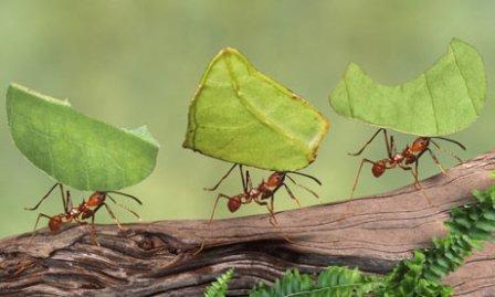 Resultado de imagen de hormigas corta hojas