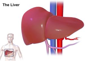 the liver illustration