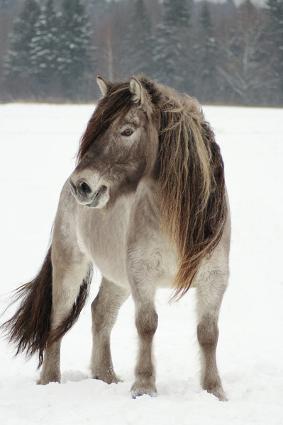 Image result for yakutian horse