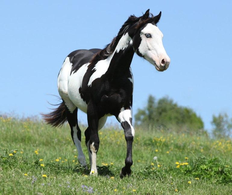 O padrão de overo geralmente inclui branco na barriga, uma cor mais escura nas costas e uma cabeça principalmente branca.Foto: Shutterstock