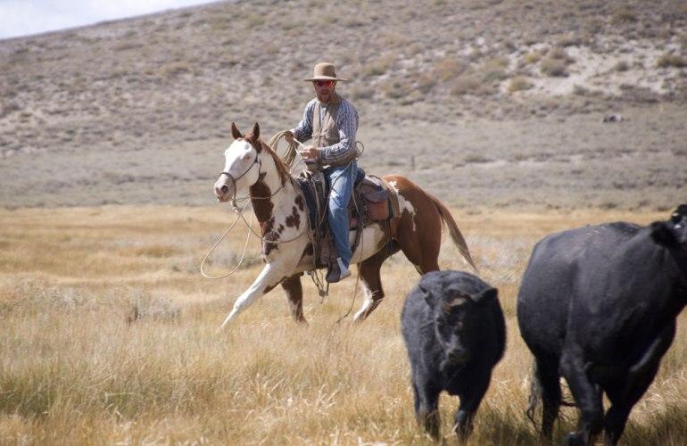 Os cavalos Paint se destacam em eventos de gado e outras disciplinas ocidentais. Foto: James Mattil / Shutterstock