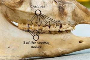 Nooks, Crannies, Pockets in Horse Teeth