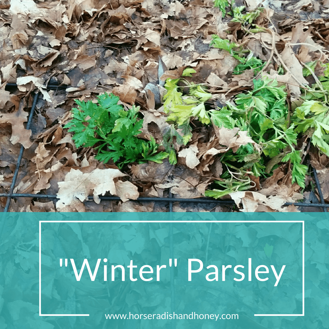 Horseradish and Honey: Winter Parsley