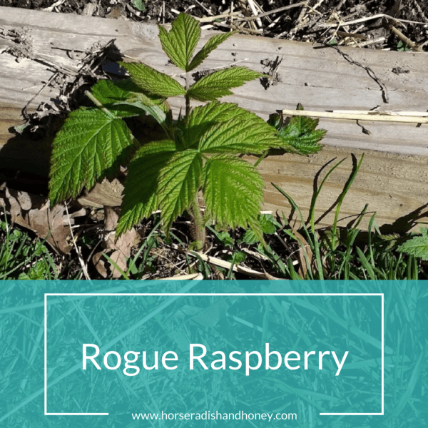 Rogue Raspberry | Horseradish & Honey