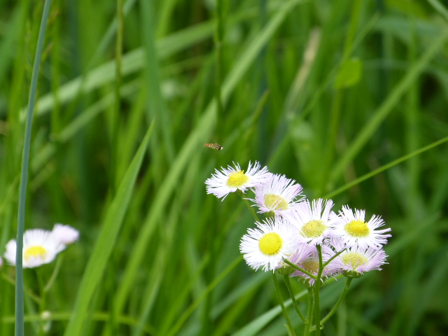 Picture of Fleabane in a field. Taken at Hope Springs Institute in Ohio.