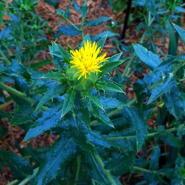 Ever wondered what a safflower flower looks like? Now youhellip