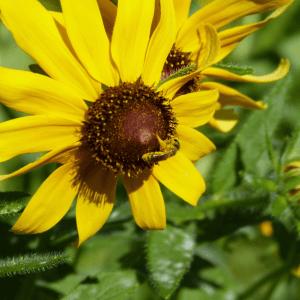 Bee on a False Sunflower Flower | Horseradish & Honey