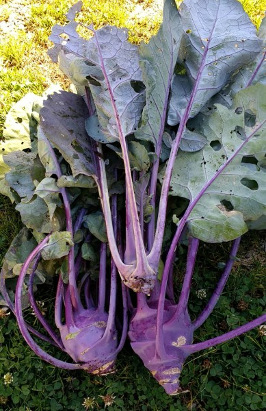 Kohlrabi Just Harvested | Horseradish & Honey