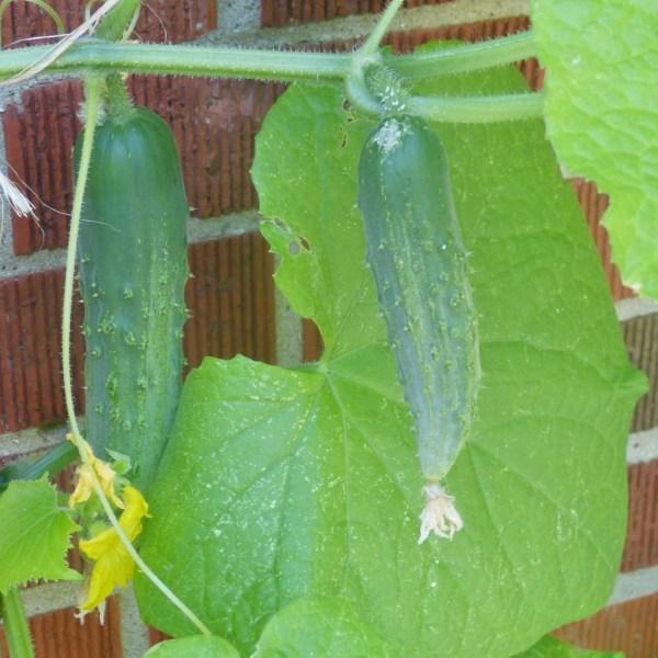 """Cucumbers """"This"""" Close   Horseradish & Honey"""