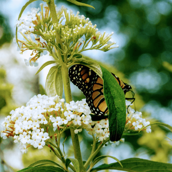 Monarch Butterfly Behind a Leaf | Horseradish & Honey