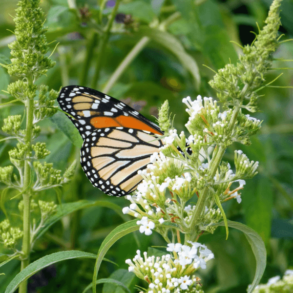 Monarch Butterfly on White Butterfly Bush | Horseradish & Honey
