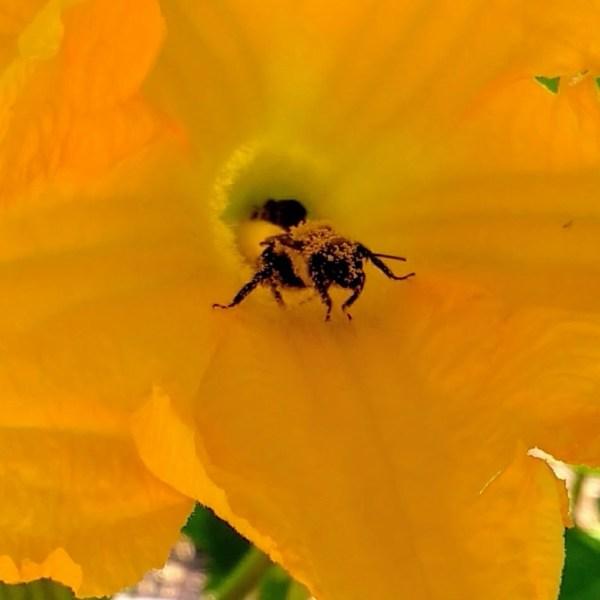 Close Up of Pollen-Covered Bee   Horseradish & Honey