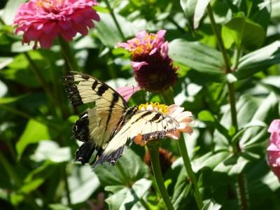 Tiger Swallowtail   Horseradish & Honey