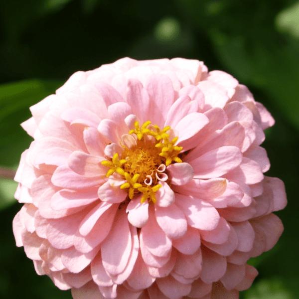Zinnia Close Up | Horseradish & Honey