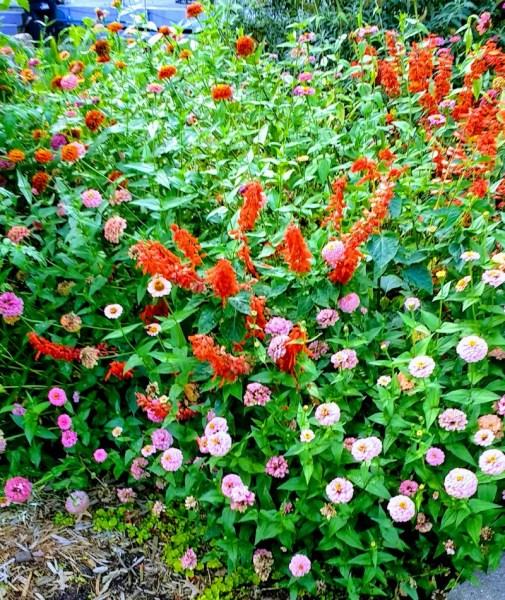 Zinnias and Salvia | Horseradish & Honey