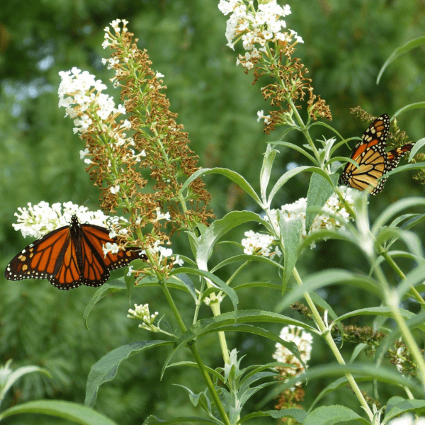 Two Monarchs on White Butterfly Bush