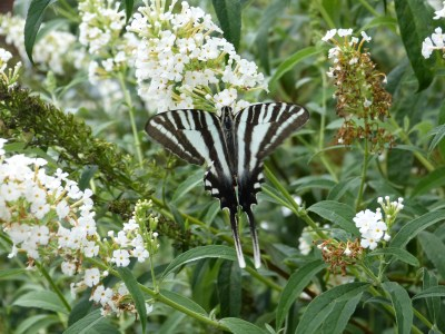 Zebra Swallowtail on Butterfly Bush