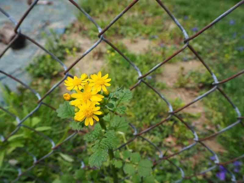 Ragwort Flowers | Horseradish & Honey