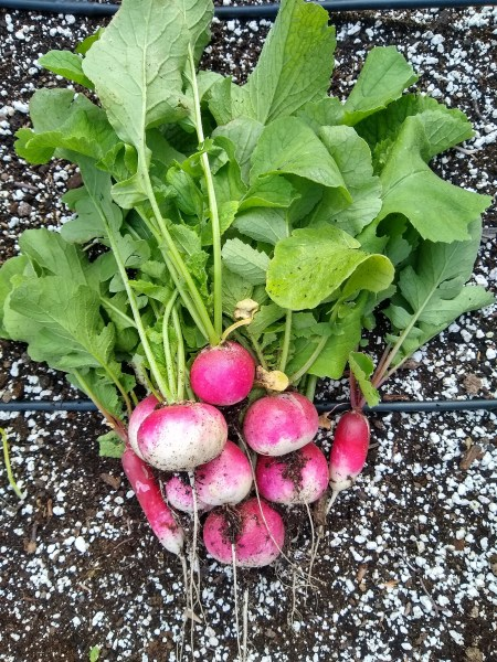Freshly-harvested Radishes | Horseradish & Honey