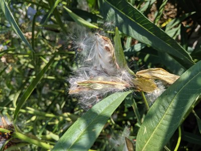 Burst Tropical Milkweed Seed Pod