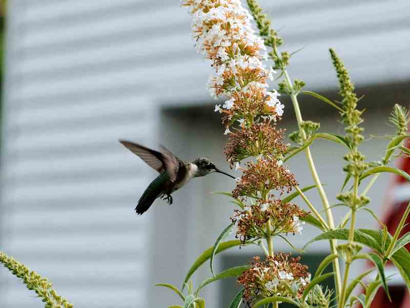 Hummingbird on Butterfly Bush | Horseradish & Honey Blog