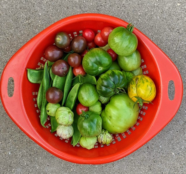 September harvest includes lima beans, tomatillos, red and green tomatoes