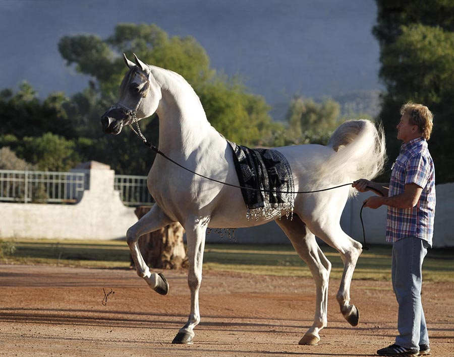 Did You Know There are over One Million Registered Arabian ... - photo#18