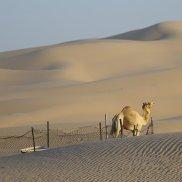 camel8A1A1666
