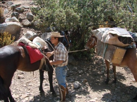Horseback arriero guide horses and mules on a camping trip in the Andes