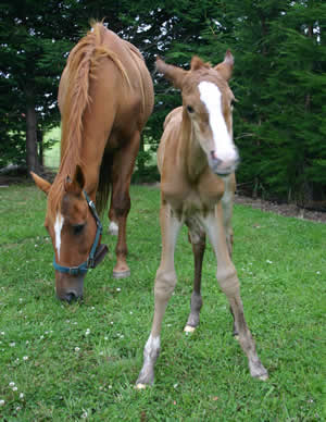 A strong, healthy foal is the goal of all breeders.