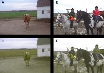 "How we see the world, left, and how a horse would see the same images. The horse's view of the world has also been blurred to reflect their lower levels of sharpness (acuity), as identified in 1992 research. The horse's view has been likened to that of a colour-blind person with problems in the red-green spectrum, but with variations in gray regions. The researchers say the illustrations give only a sense of the colour world of the horse. There are many differences between the horse and human visual systems, and the way in which the eye ""sees"" colour is but one of them. These differences cannot be captured in this simulation."