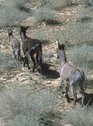 Wild burros on the range