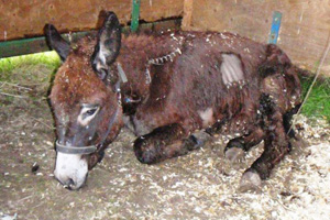 Critically ill Rupert now has a chance of survival thanks to The Donkey Sanctuary.