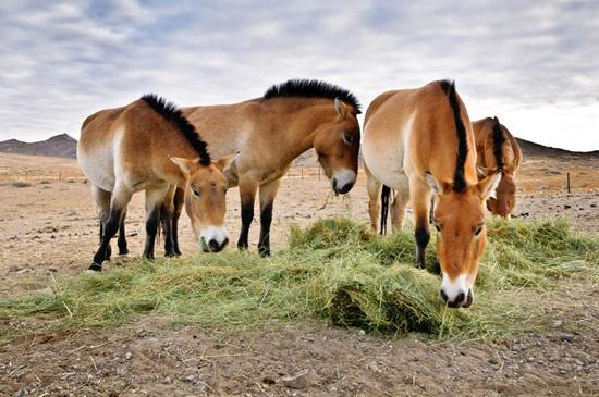 The four Przewalski horses at Prague Zoo.